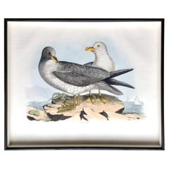 Prideaux John Selby Large Hand Colored Copper Plate Engraving of Seagulls