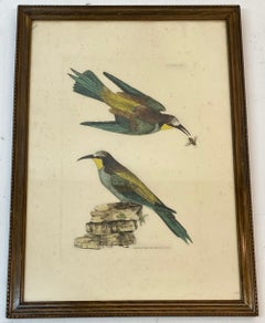 """Prideaux John Selby """"Bee Eaters European M&F"""" Hand Colored Etching c.1820s"""