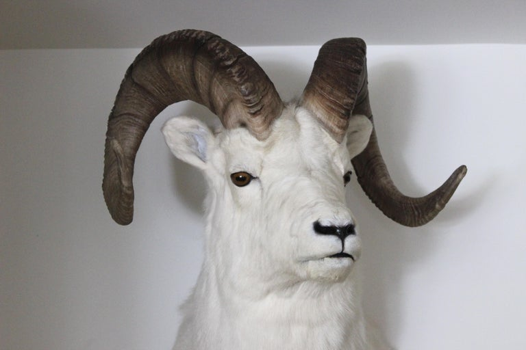 20th Century Ram Taxidermy Wall Mount For Sale