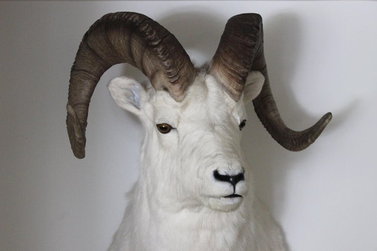 Ram Taxidermy Wall Mount For Sale 1