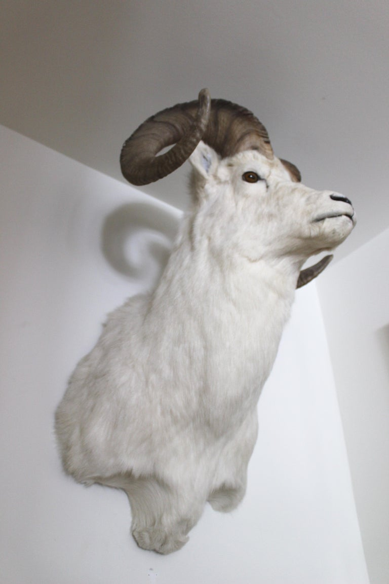 Ram Taxidermy Wall Mount For Sale 3