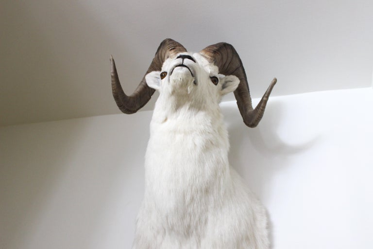 Ram Taxidermy Wall Mount For Sale 4