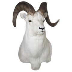 Ram Taxidermy Wall Mount