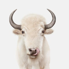 American White Buffalo