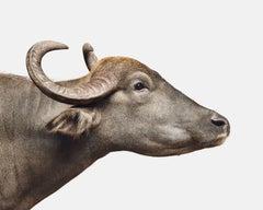 Asian Water Buffalo No 2