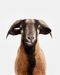 Barbados Black Belly Sheep