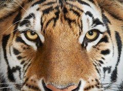 Bengal Tiger No. 4
