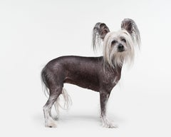 Chinese Crested Dog