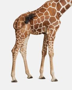 Giraffe No. 3