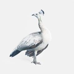 Gray Peacock No. 2