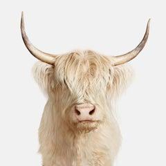 Highland Cow No. 1