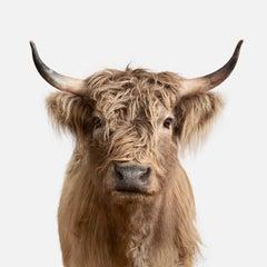 Highland Cow No. 2