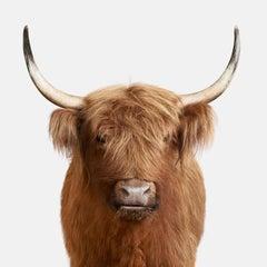 Highland Cow No. 3