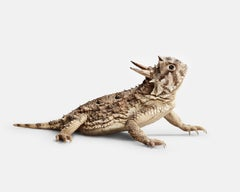 Horned lizard No. 1