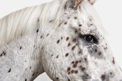 Leopard Appaloosa Horse No. 1
