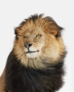 Lion No. 2