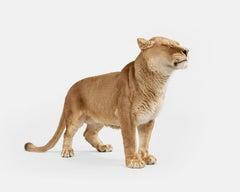 Lioness No. 2