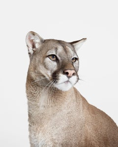 Mountain Lion No. 2