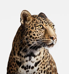 Spotted Leopard No. 2