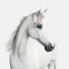 White Arabian Horse No. 1