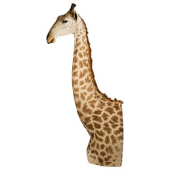 Rare African Taxidermy Massive Tall Part Giraffe