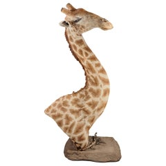 Rare and Extremely Well Prepared Late 20th Century African Bull Giraffe