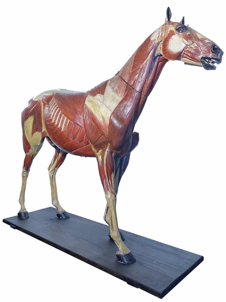 Rare German 1800s Anatomical Horse Model, Signed A.M.Sommer For Sale 1