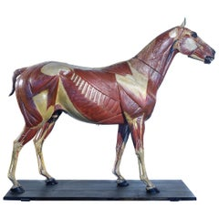 Rare German 1800s Anatomical Horse Model, Signed A.M.Sommer