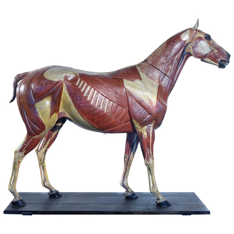 Rare German 1800s Anatomical Horse Model, Signed A.M.Sommer For Sale