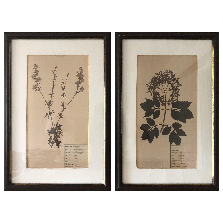 Rare Pair of 19th Century Pressed Specimen Botanicals Art
