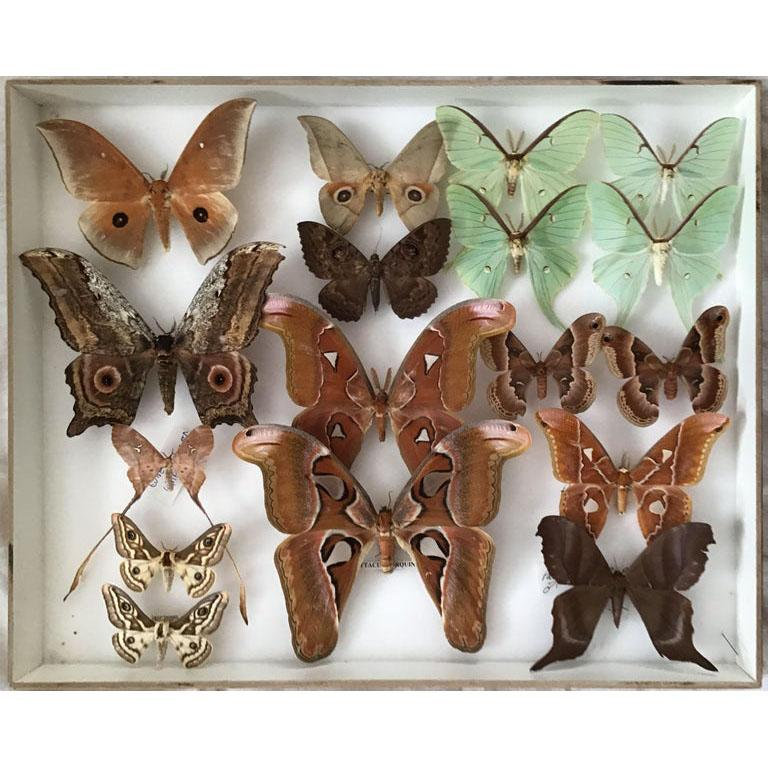 Pair of vintage display cases filled with exotic silk Saturniidae moths from around the world including the beautiful Green Luna Moth. 