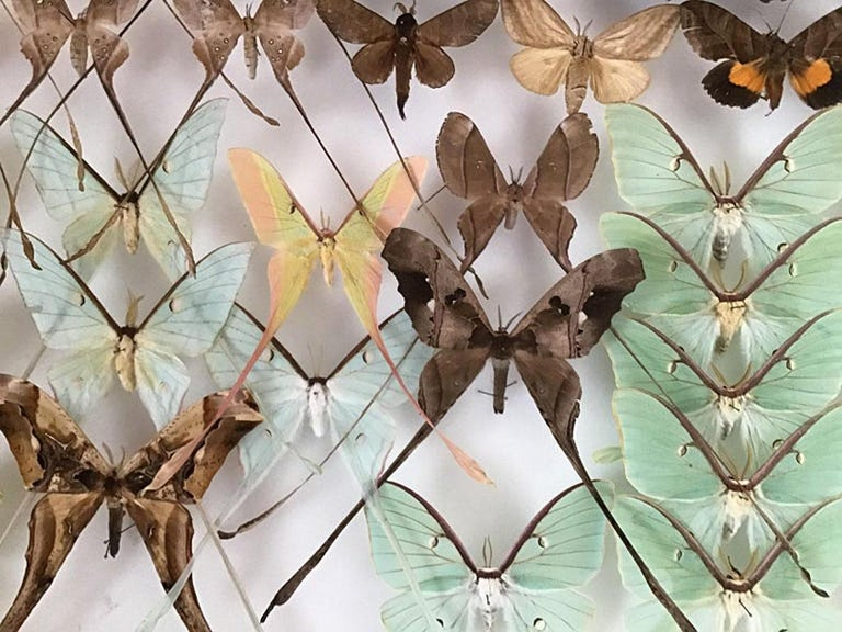 Rare Silk Moths Featured in Pair of Display Cases In Excellent Condition For Sale In Larkspur, CA