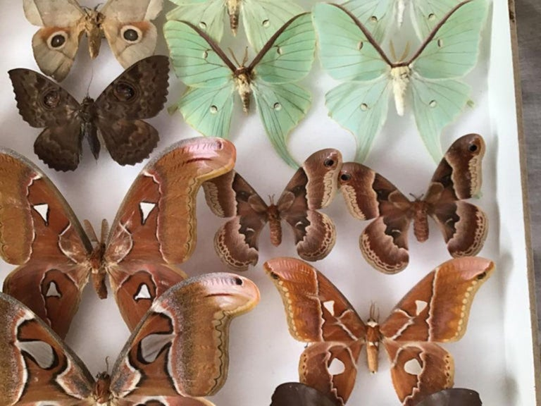 20th Century Rare Silk Moths Featured in Pair of Display Cases For Sale