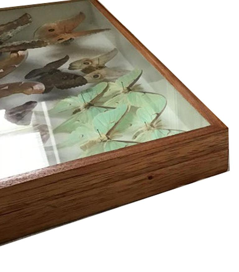 Wood Rare Silk Moths Featured in Pair of Display Cases For Sale