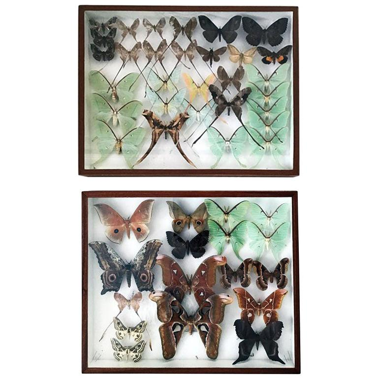 Rare Silk Moths Featured in Pair of Display Cases For Sale
