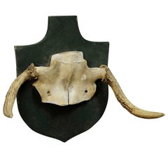Rare Trophy of an Abnorme Moose from a Noble Estate, circa 1930s