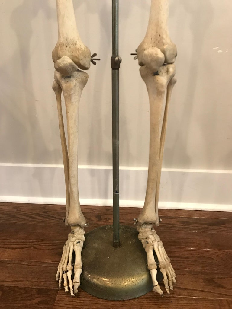 Real Human Skeleton of Articulating Lower Extremities Leg & Foot Bones on  Stand