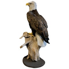 Recently Made Taxidermy American White-Tailed Eagle