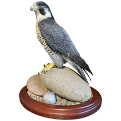 Recently Made Taxidermy Peregrin Falcon