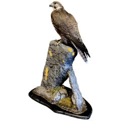 Recently Made Taxidermy Saker Falcon