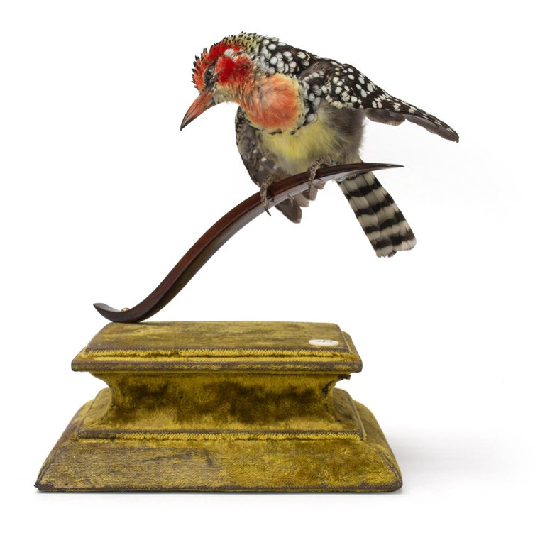 Red and Yellow Barbet Fine Taxidermy by DS&vT 2