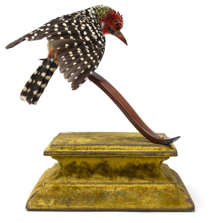 Red and Yellow Barbet Fine Taxidermy by DS&vT 3