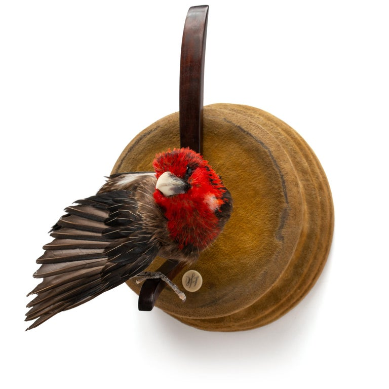 Red and Yellow Barbet Fine Taxidermy by DS&vT 6