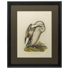 """""""Red Throated Diver. Young."""" by Prideaux Selby, Antique Hand-Colored Engraving"""