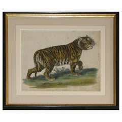 Regency Early 19th Century Copper Plate Engraving of a Tiger
