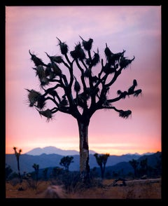 Joshua Tree, Mojave Desert, California (M)- American landscape color photography
