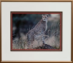 Cheetah - Masi Mara, Kenya