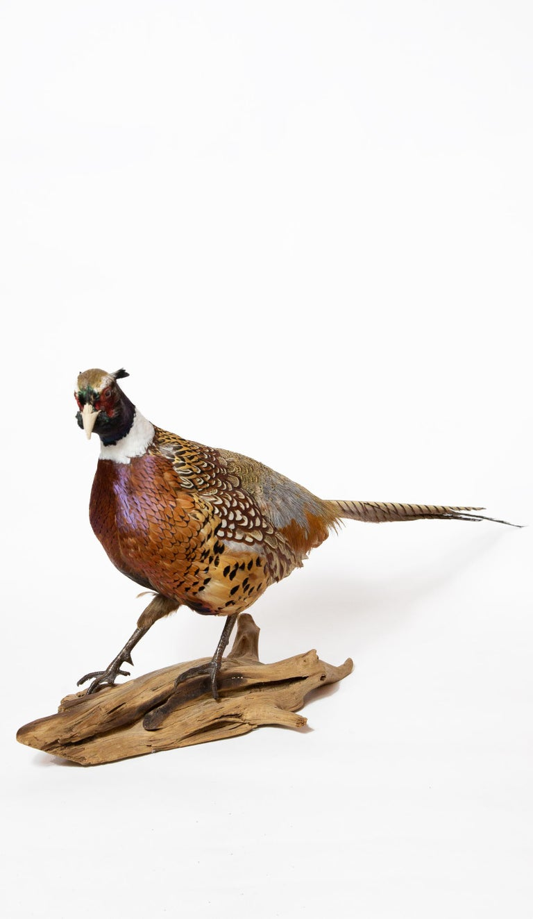 Ringneck Pheasant In New Condition For Sale In New York, NY