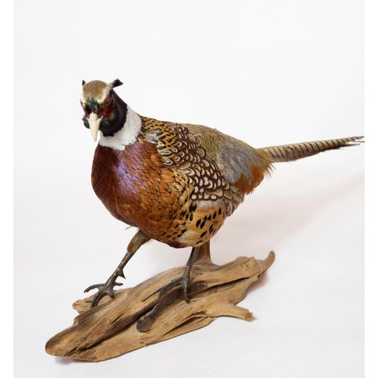 Ringneck Pheasant For Sale 1