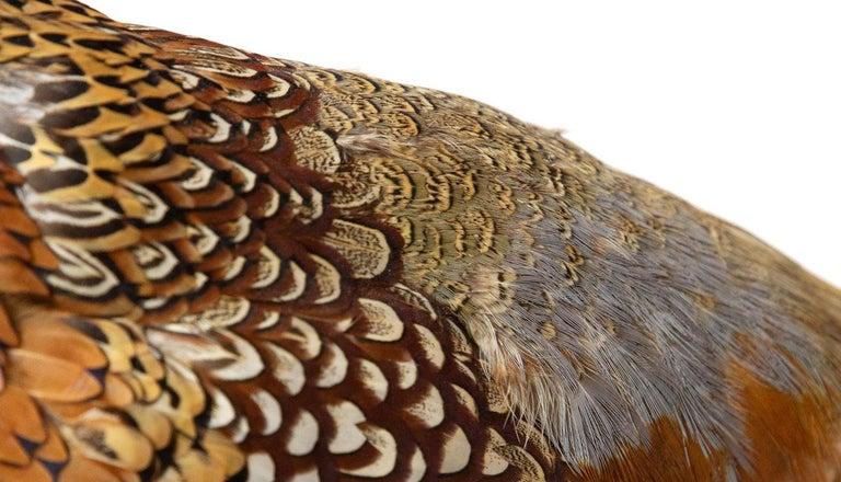 Ringneck Pheasant For Sale 4